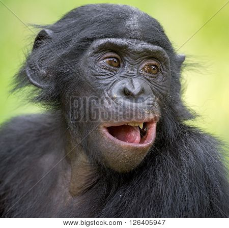 The Close Up Portrait Of Bonobo (pan Paniscus) On The Green Natural Background.