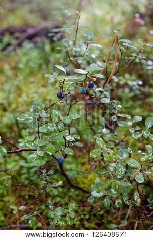 Vaccinium myrtillus bilberry macro shot in Russia