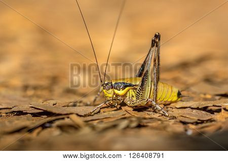 Bush Cricket Katydid
