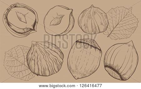 Hazelnut on light brown background. Hazelnut seeds. Engraved bitmap illustration of leaves and nuts of hazelnut. Isolated hazelnut.