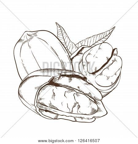 Pecan bitmap isolated on white background. Pecan seeds. Engraved bitmap illustration of leaves and nuts of Pecan. Pecan in vintage style.