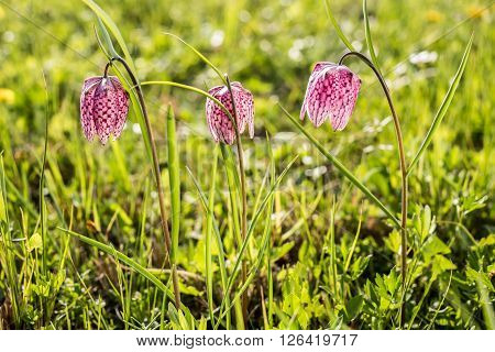 Early spring chess flower in flood meadow. Snake's head fritillary (Fritillaria meleagris).