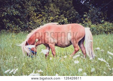 Pony Horse Is Pasture Feeding On The Meadow