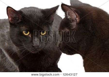 Two Identical Black Cats Looking At Each Other