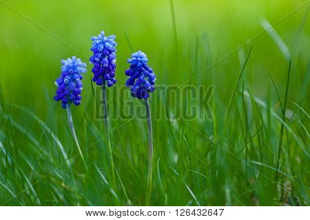 Picture of blue muscari with green grass