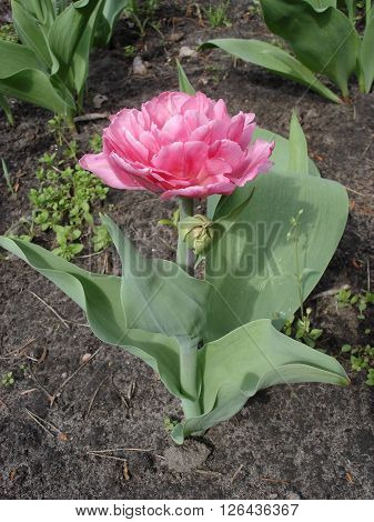 Tulip 'Foxtrot' pink flower (Double Early Tulip).
