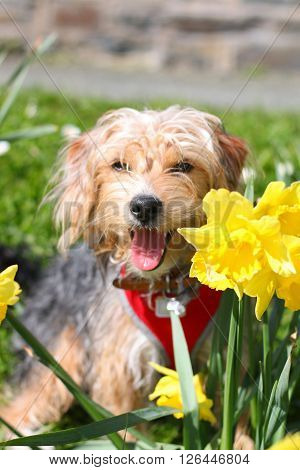 A puppy panting and sitting in daffodils