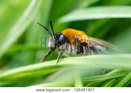 Andrena nitida, female mining bee. A female solitary bee in profile, showing striking fox-red coloration of thorax and hair on face