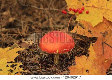 Death Cap Mushroom And Abscissed Leaves