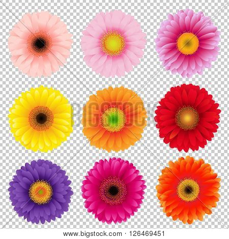Big Colorful Gerbers Set, Isolated on Transparent Background