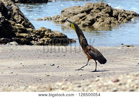 Bare-throated tiger heron (Tigrisoma mexicanum) displaying on a shore (Montezuma, Costa Rica).