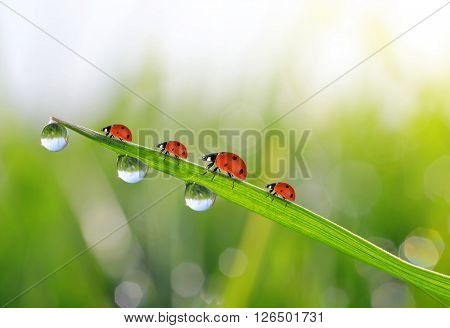 Fresh green grass with dew drops and ladybirds closeup