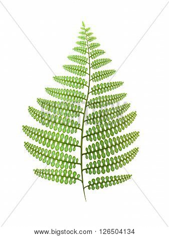 Green fern leaf isolated on white. Vector illustration.