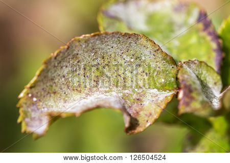 Pests plants diseases. Powdery mildew close up.