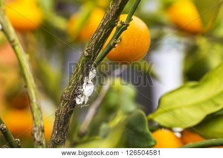 Pest Mealybug Closeup On The Citrus Tree