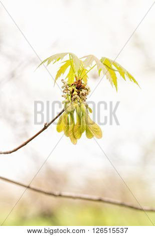 Maple Leaves And Fruits