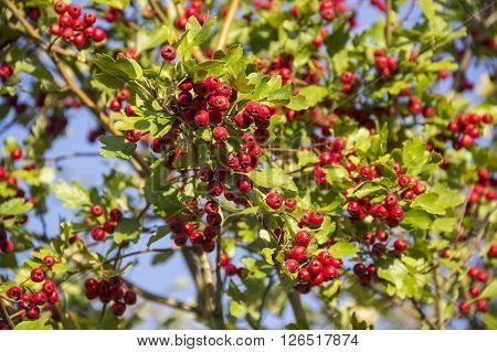 close-up red berries of hawthorn (crataegus monogyna)