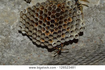 Wasp Nest With Wasps Sitting On It.