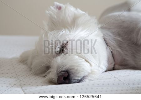 Brazilian west highland white terrier taking a nap