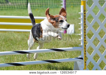 Tricolor Beagle Leaping Over a Jump at Dog Agility Trial