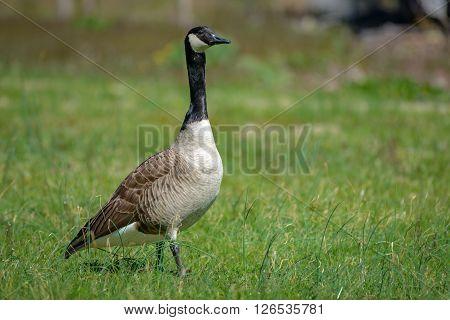 Canada goose Branta canadensis. Wildlife animal. close-up