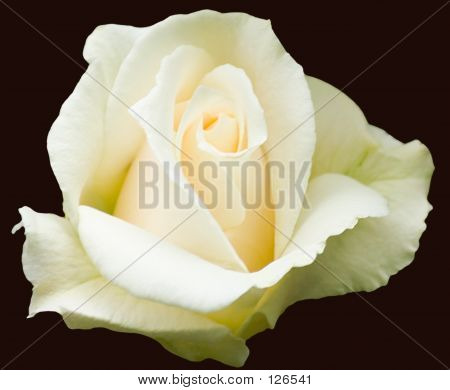 A Cream/White Rose