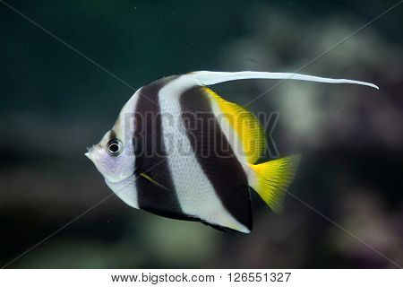 Pennant coralfish (Heniochus acuminatus), also known as the reef bannerfish or coachman. Wild life animal.