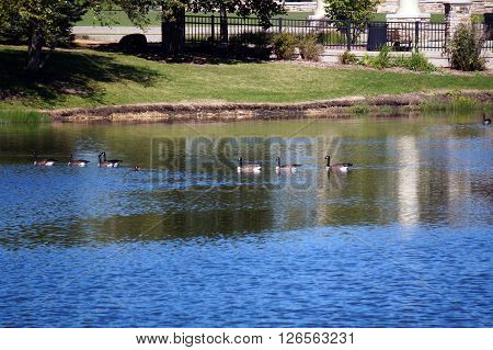 Canada geese (Branta canadensis) swim together in a pond in Settlers' Park in Plainfield, Illinois.