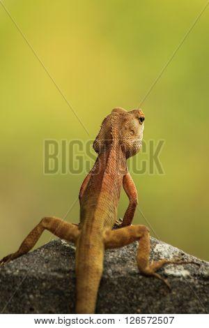 The big lizard is standing in the garden