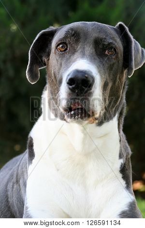 Sandy  Great Dane Dog beautiful eyes smile good animal character kind