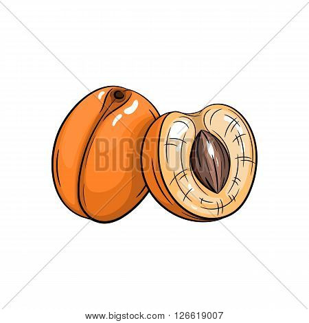 Vector apricot illustration. Slice of Apricot, apricot isolated on white background. Vector sketch hand drawn fruit - stock vector