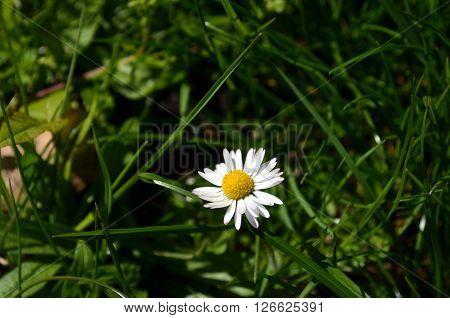 Daisy Flowers On A Meadow