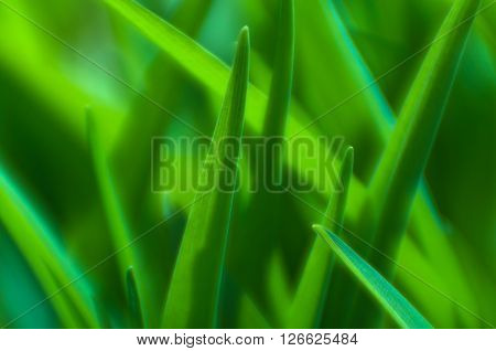 Green lily leaves in sunlight macro.Photographed lens of