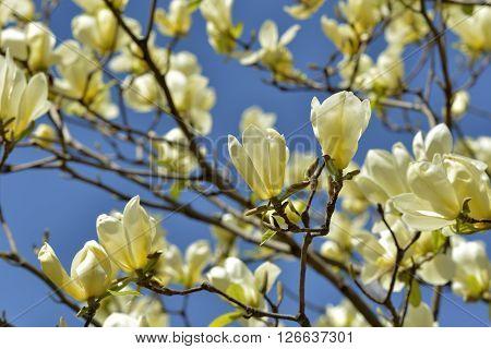 Yellow bird magnolia at spring in sky
