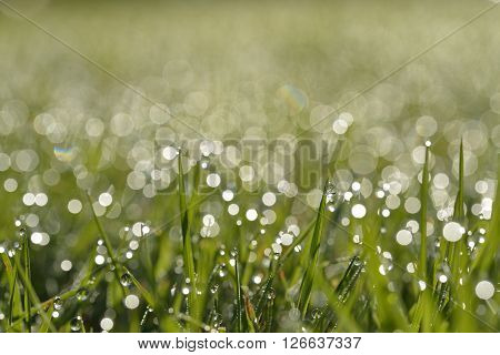 Early morning dew on grass in summer