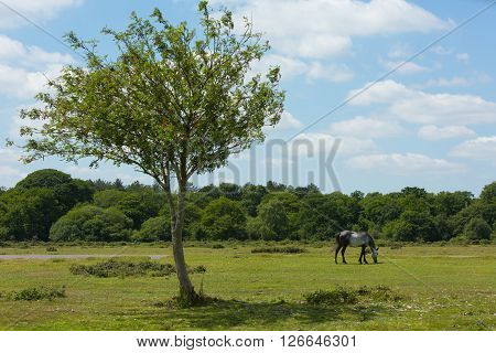 Wild pony and beautiful tree The New Forest Hampshire England UK