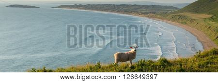 Rhossili beach The Gower peninsula South Wales UK with sheep grazing and overlooking the bay at this popular Welsh holiday destination panoramic view poster