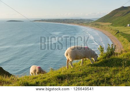 Rhossili The Gower peninsula South Wales UK with welsh sheep and overlooking the bay at this popular Welsh holiday destination