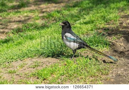 Ooutdoor portrait of magpie (Pica pica) bird standing on the ground and being a guard
