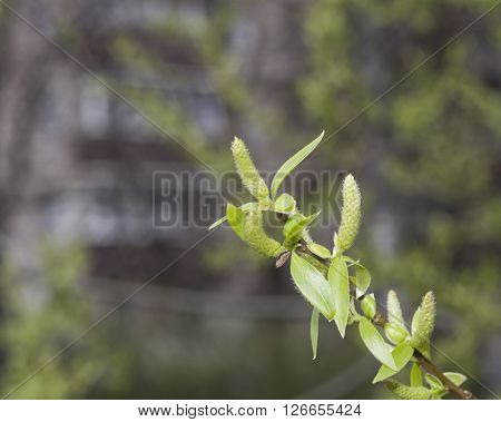 Brittle willow Salix fragilis blossom in spring with bokeh background selective focus shallow DOF