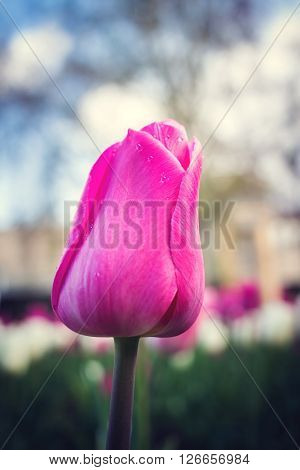 Pink tulip in the flower bed close up nature background
