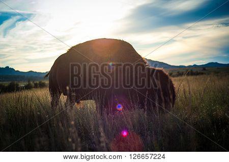 Oklahoma Wildlife Refuge Buffalo / Bison on the prairie