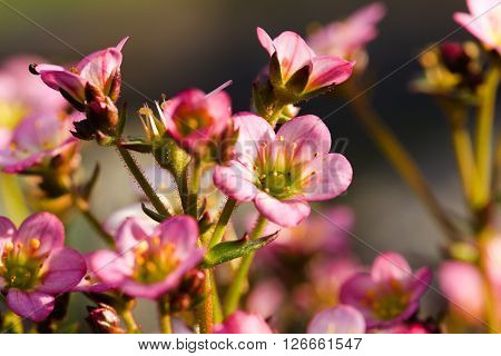 Pink Saxifrage Flower With Detail Of Bloom