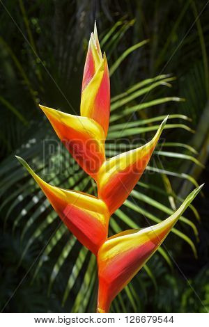 Lobster claws plant or Heliconia plant with palm in background, Hawaii