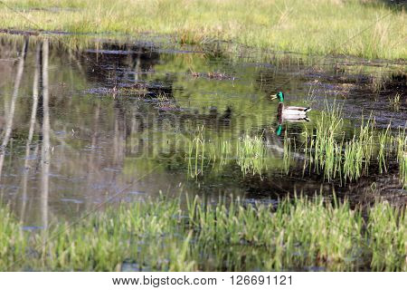 A beautiful male Mallard duck with a bright green head quacking in the swamp.