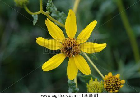 San Diego Sunflower 1