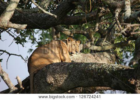Female Lion On Tree Wild Dangerous Mammal Africa Savannah Kenya