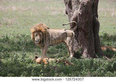 couple lion wild dangerous mammal africa savannah Kenya