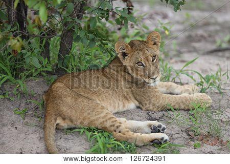 Baby Lion Wild Dangerous Mammal Africa Savannah Kenya