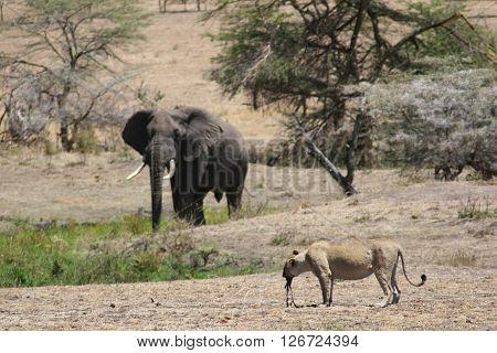 Lion In Blood After Hunting And Elefant Wild Dangerous Mammal Africa Savannah Kenya